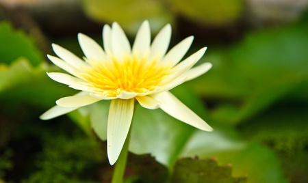 white lotus from Thailand Stock Photo - 13632271