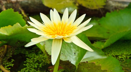 white lotus from Thailand Stock Photo - 13632277