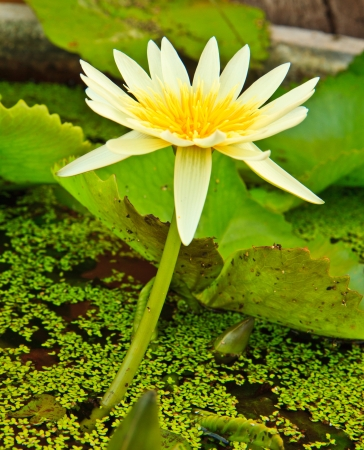 white lotus from Thailand Stock Photo - 13632308