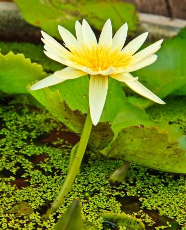 white lotus from Thailand Stock Photo - 13632308