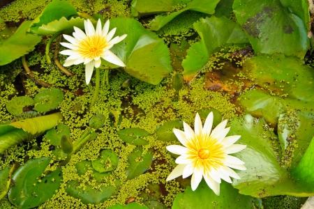white lotus from Thailand photo