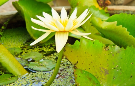 white lotus from Thailand Stock Photo - 13632285