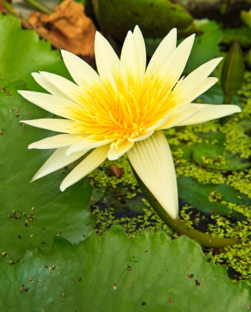 white lotus from Thailand Stock Photo - 13632282