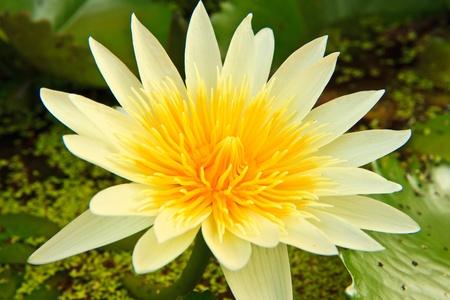 white lotus from Thailand Stock Photo - 13632283