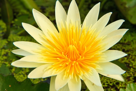 white lotus from Thailand Stock Photo - 13632279