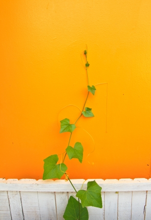 tendril on yellow background and white  fence photo