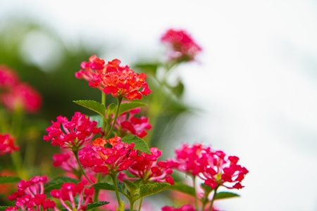 small purple flower: L  camara L ,A closeup shoot of lantana camara flower Stock Photo
