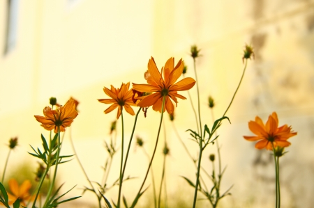 C  sulphureus Cav  cosmos flowers in sunset