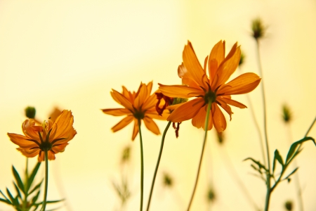 C  sulphureus Cav  cosmos flowers in sunset