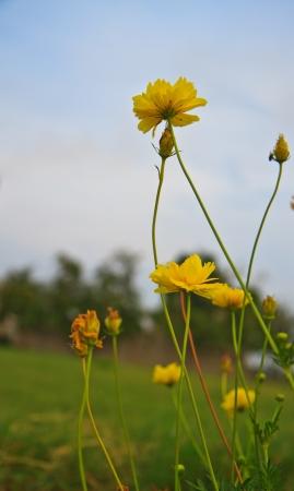 cav: C  sulphureus Cav  cosmos flowers in sunset