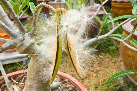 adenium obesum balf: Adenium obesum Balf , Pink Bignonia seeds