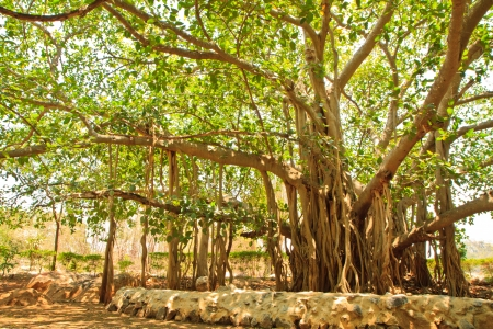 Banyan tree in Temple photo