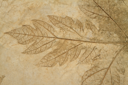 The Imprint of leaf on cement floor background photo