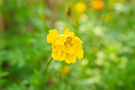 cav: C  sulphureus Cav ,The Cosmos Flower
