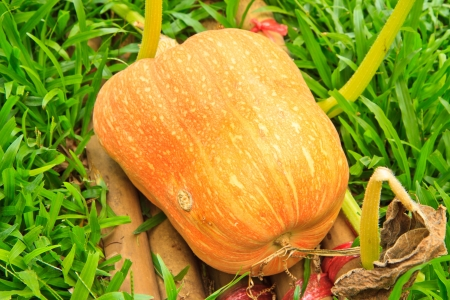Cucurbita moschata Decne,Fresh, ripe, pumpkins growing in field  photo