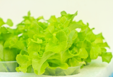 Field of fresh lettuce growing at a farm by Hydroponics photo