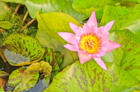 Red lotus from Thailand photo