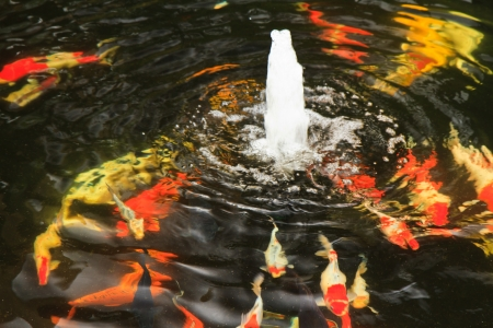 koi fish, Fancy carp, cyprinus carpio linn photo