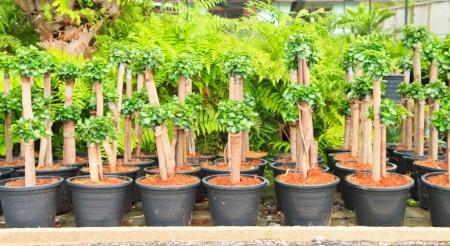 very much seedling Streblus asper Lour  photo