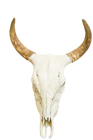 Bull with horns on white background photo