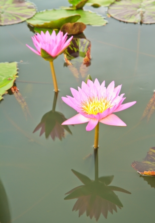 Pink lotus from Thailand Stock Photo - 14856306