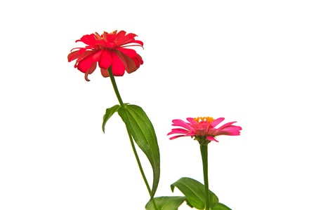 Zinnia elegans,Blooming Zinnias isolated on white background photo