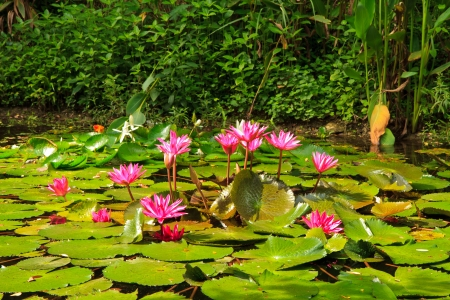 Pink lotus from Thailand photo