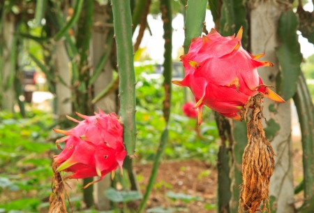 dragon fruit on a tree photo