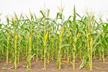 A wall of corn stalks full of corn, in vertical format
