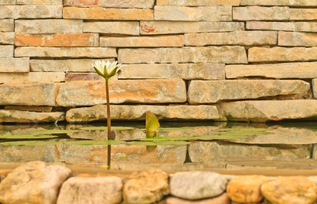A white lotus on brick wall in pool Stock Photo - 15379835
