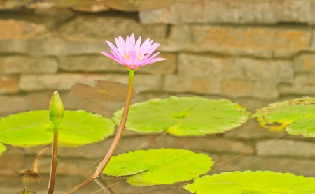 A pink lotus on brick wall in pool Stock Photo - 15379802