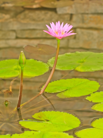 A pink lotus on brick wall in pool Stock Photo - 15379803