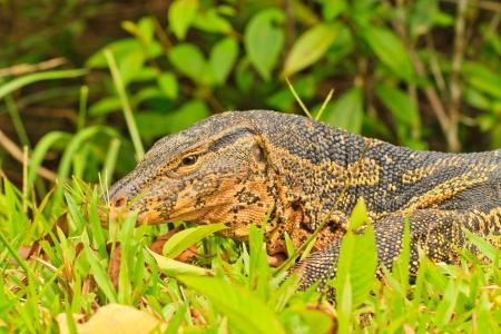 Closeup of monitor lizard - Varanus on green grass Stock Photo - 15459157