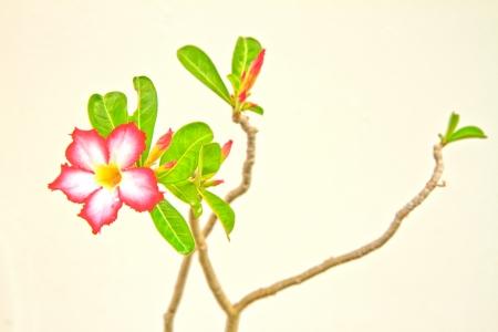 Pink Bignonia on  background photo