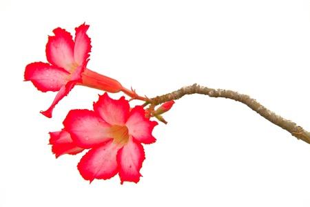 Pink Bignonia on  background