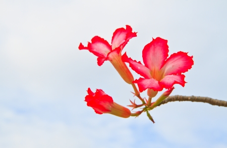 Pink Bignonia on  background Stock Photo - 15554244