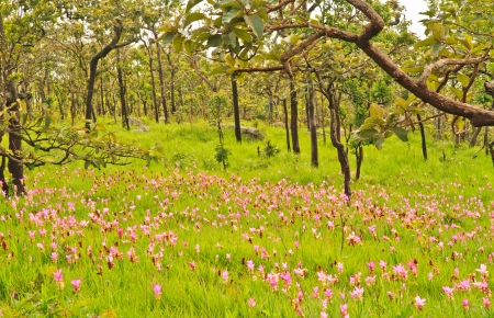 Siam tulip at Chaiyaphum Province, Thailand  photo