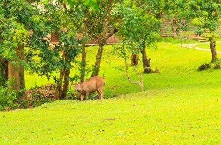 Whitetail deer eat grass