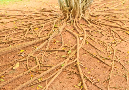 The root of tree, Thailand photo