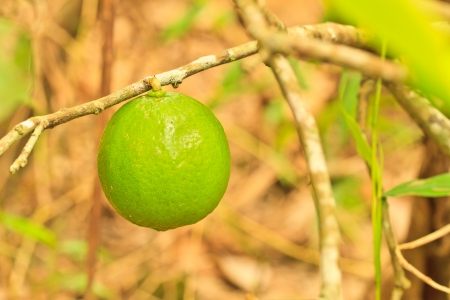 lime tree and leaf background Stock Photo - 16062986