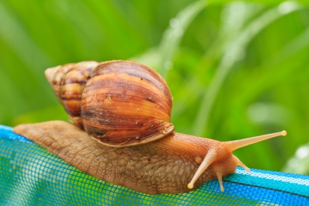 Close-up of  snail walking on the net; also known as Roman snail, edible snail or escargot Stock Photo - 16238289