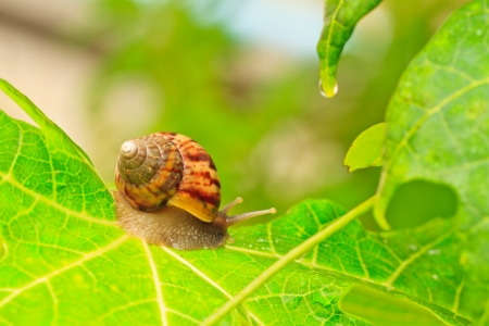 edible snail: Close-up of  snail walking on the leaf; also known as Roman snail, edible snail or escargot