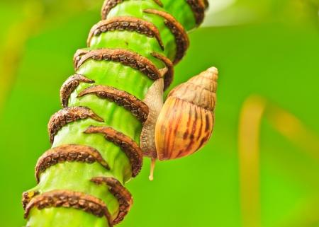 edible snail: Close-up of  snail walking on the banana tree; also known as Roman snail, edible snail or escargot