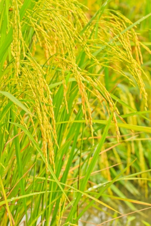 Rice field and more water photo