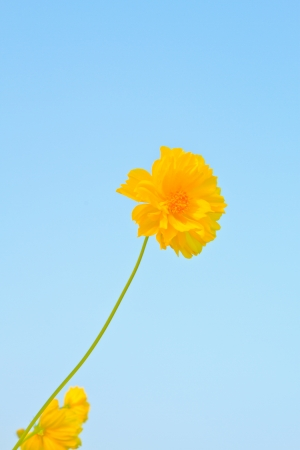 C  sulphureus Cav ,The Cosmos Flower on blue sky  background photo