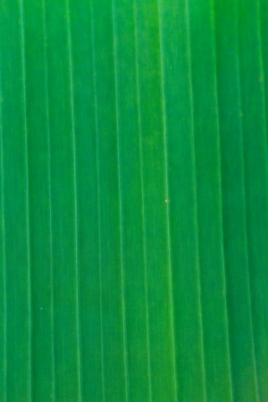 Banana green leaf, Can you use background Stock Photo - 17077065