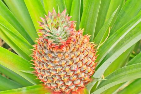 pineapple tree: fresco pi�a tropical plantaci�n de �rboles en finca