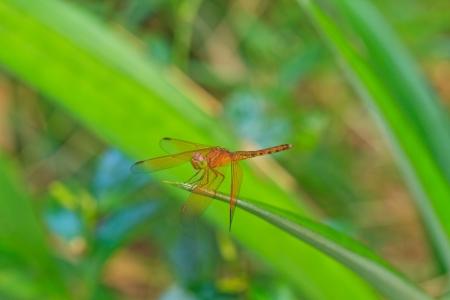 sympetrum vulgatum: A orange dragonfly at rest, Sympetrum vulgatum Stock Photo