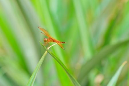 vulgatum: A orange dragonfly at rest, Sympetrum vulgatum Stock Photo