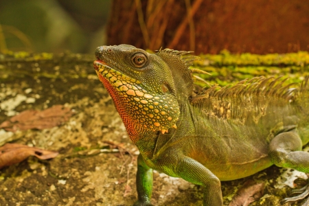 Chameleon is looking  on stone and tree background photo